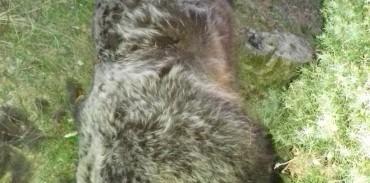 Νεκρή μια αρκούδα στην Εορδαία. Μήνυση κατέθεσε η ΚΟΜΑΘ
