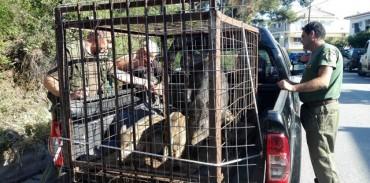 Απάντηση της ΚΟΜΑΘ για την απομάκρυνση αγριόχοιρων από το Πανόραμα Θεσσαλονίκης