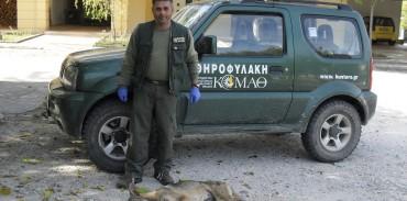 Λύκος ύποπτος για λύσσα συνελέγη από τους θηροφύλακες της ΚΟΜΑΘ