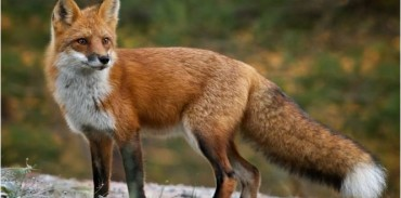 Παράταση προγράμματος αξιολόγησης της αποτελεσματικότητας των εμβολιασμών των κόκκινων αλεπούδων κατά της λύσσας