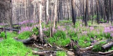 Διαχείριση της θήρας μετά από δασικές πυρκαγιές