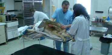 Κινητοποίηση της ΚΟΜΑΘ για τη διάσωση τραυματισμένου πλατωνιού (Dama dama)
