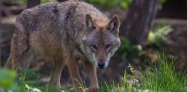 Το κυνήγι των μεγάλων σαρκοφάγων ως εργαλείο διαχείρισης – Ανακοίνωση της FACE
