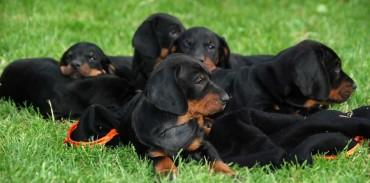 Φωτογραφία: https://www.dogbreedslist.info/all-dog-breeds/polish-hunting-dog.html