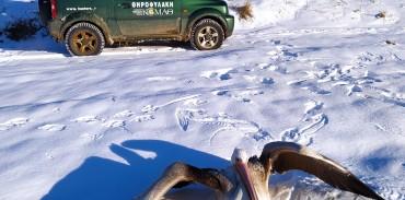 Παρέμβαση της Ομοσπονδιακής Θηροφυλακής της KOMAΘ για την περισυλλογή και μεταφορά εξασθενημένου Ροδοπελεκάνου στη λίμνη Χειμαδίτιδα