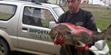 Επιχείρηση διάσωσης τραυματισμένου ζαρκαδιού από την Κυνηγετική Ομοσπονδία Μακεδονίας - Θράκης