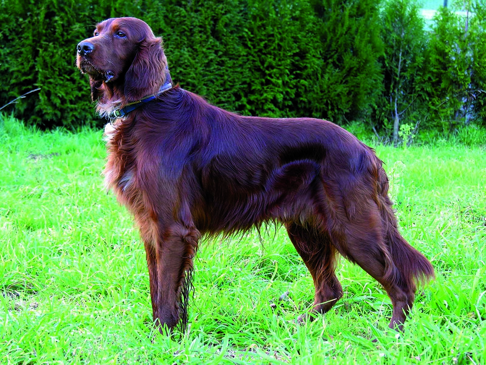 Irish Setter small